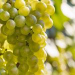 シャルドネの特徴とは?ワインの個性や料理との相性まで徹底解説!