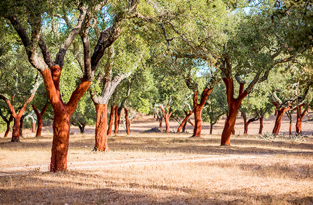 コルク樫林