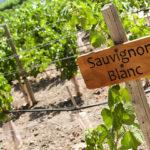 ソーヴィニヨン・ブランの特徴とは?ワインの個性や料理との相性まで徹底解説!