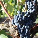シラー(シラーズ)の特徴とは?ワインの個性や料理との相性まで徹底解説!