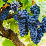 グルナッシュの特徴とは?ワインの個性や料理との相性まで徹底解説!